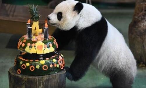 大熊猫圆仔迎4岁生日 舔生日蛋糕萌化了